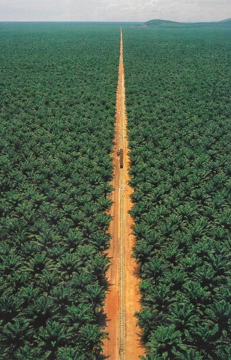 Worldwide demand for palm oil has increased sharply over the last few years. With 54 million tons in 2011, it is the most widely produced vegetable oil worldwide. It has the highest yield of any oil crop and is the cheapest vegetable oil to produce and refine. Today, rainforest area the equivalent of 300 soccer fields is being destroyed every hour to meet the production demands.