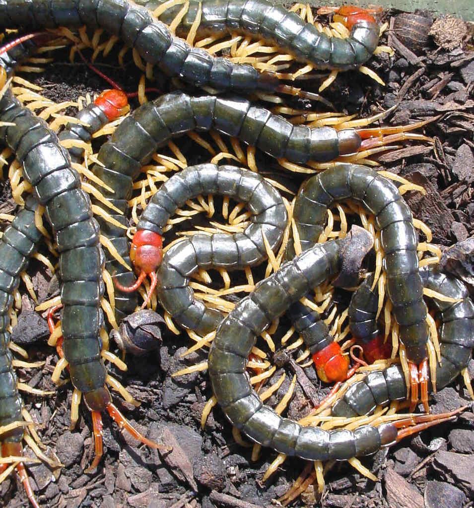 world animal beauti and funny centipede. Black Bedroom Furniture Sets. Home Design Ideas