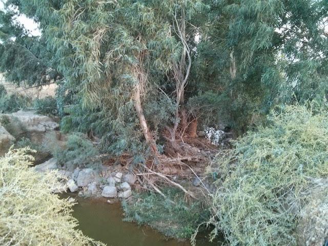 עץ אקליפטוס -נחל חרוד