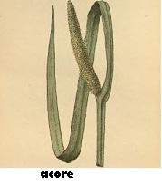 Acore plante médicinale