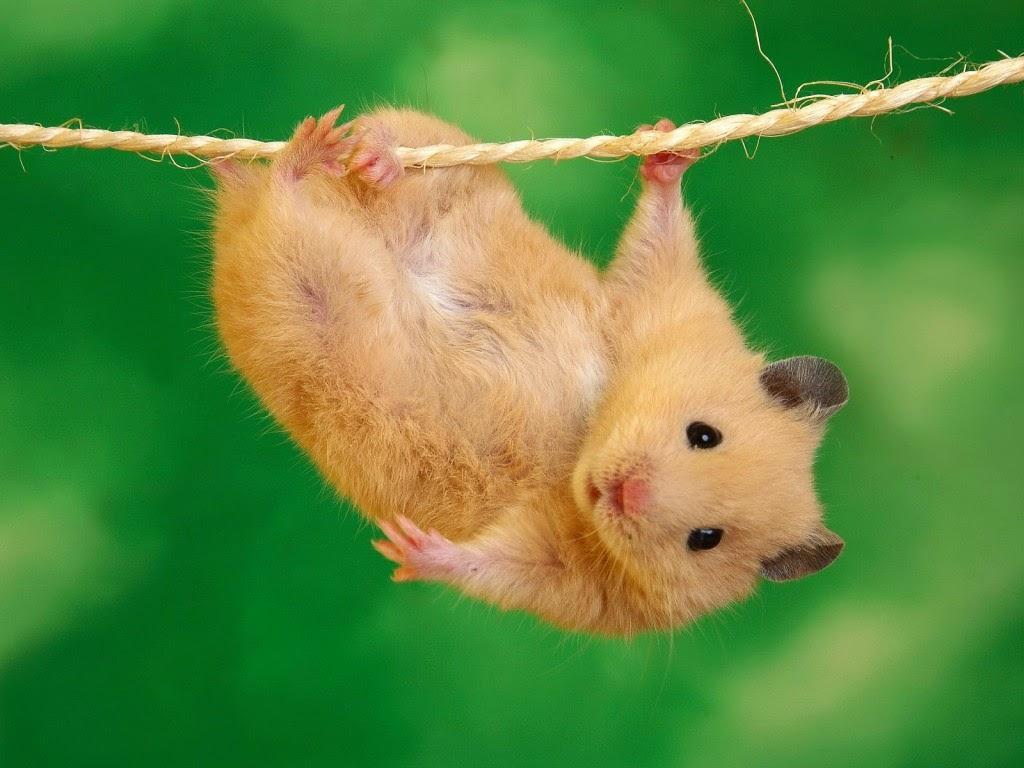 Hamster ruso enano reproduccion asexual