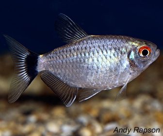 Red eye tetra, Moenkhausia sanctaefilomenae