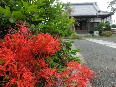 本興寺のヒガンバナ
