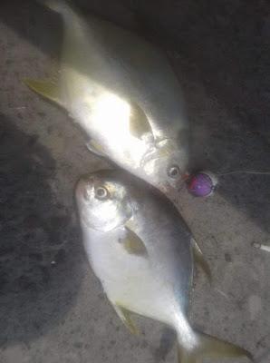 ikan gatho, bawal bintang