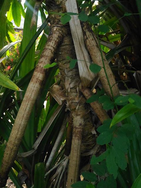 Batang Pandan