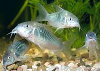 Ikan Corydoras Dan Cara Merawatnya