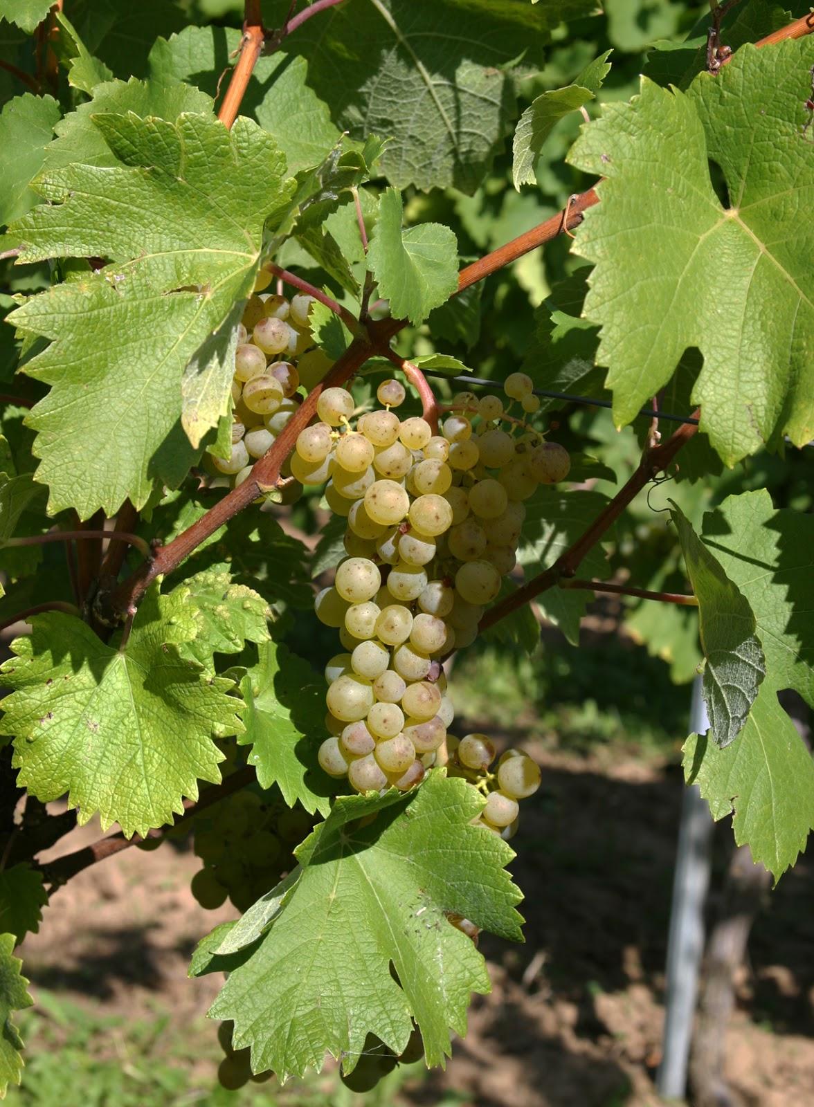 Fringe Wine: Huxelrebe - Rheinhessen, Germany