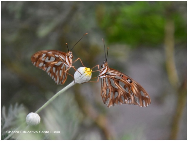 Mariposas posadas en un pimpollo - Marcos L para Chacra Educativa St. Lucía