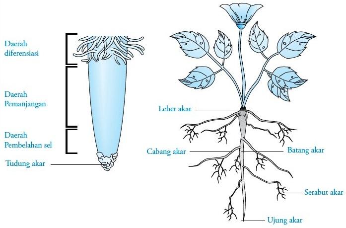 Struktur Dan Fungsi Akar Pada Tumbuhan Gambar