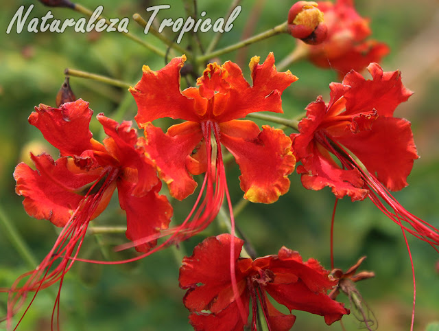 Flores del arbusto conocido como Flamboyán enano, Caesalpinia pulcherrima