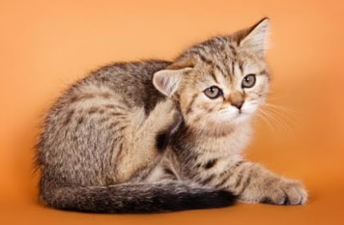 Easy Tips How to Clear Up Fleas from Kitten