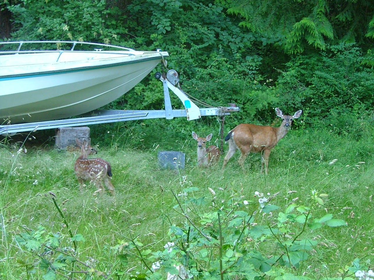 fawn's and mom deer on Lummi Island