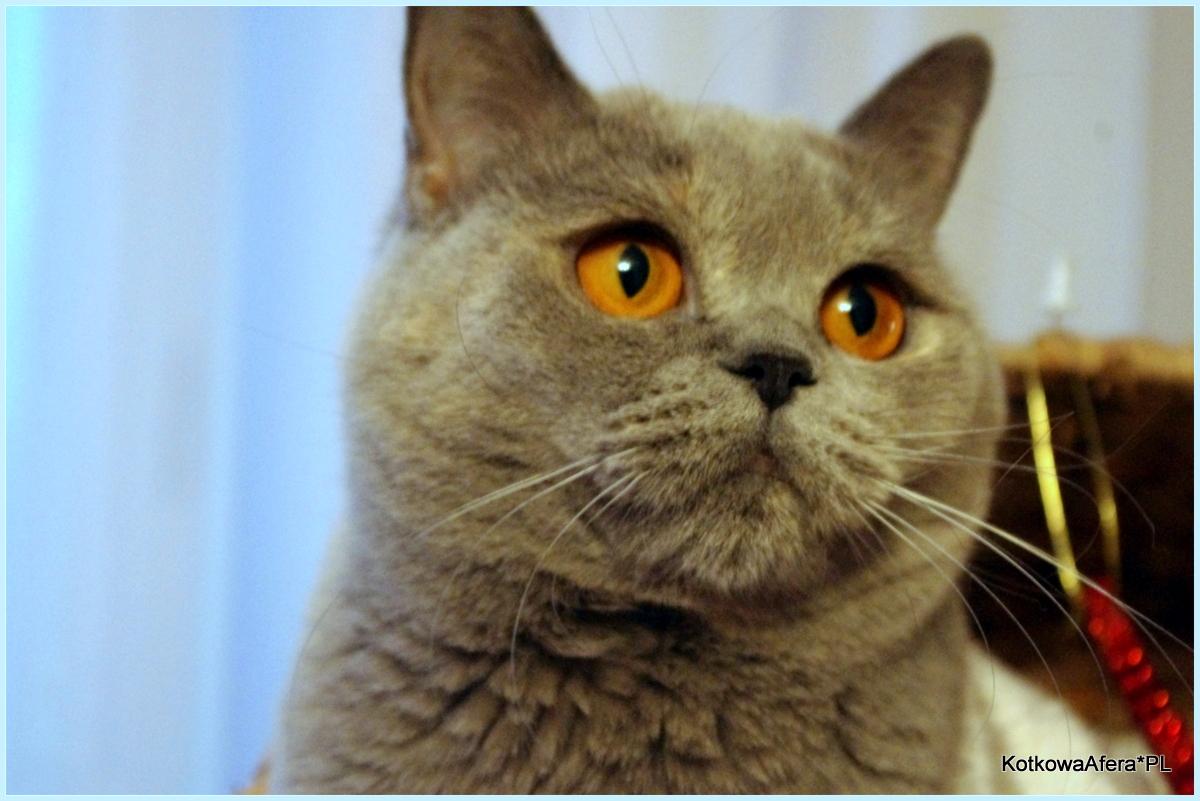 Koty Brytyjskie Koty Brytyjskie O Kolorach