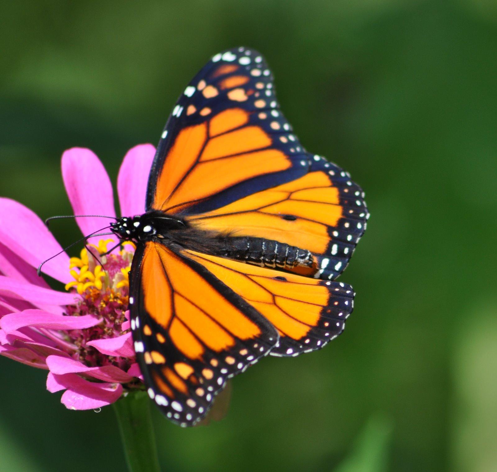 My Iowa Garden: Monarch Butterflies and Caterpillar