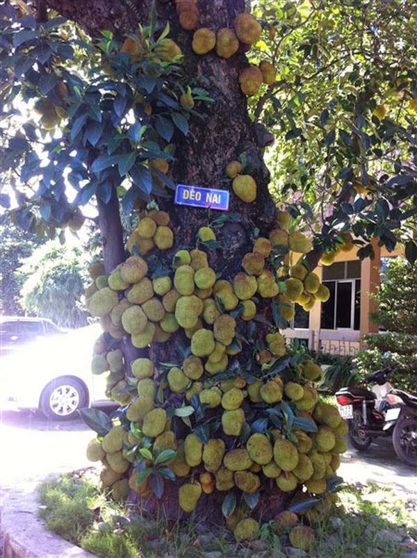 Cây mít nghìn quả ở Quảng Ninh