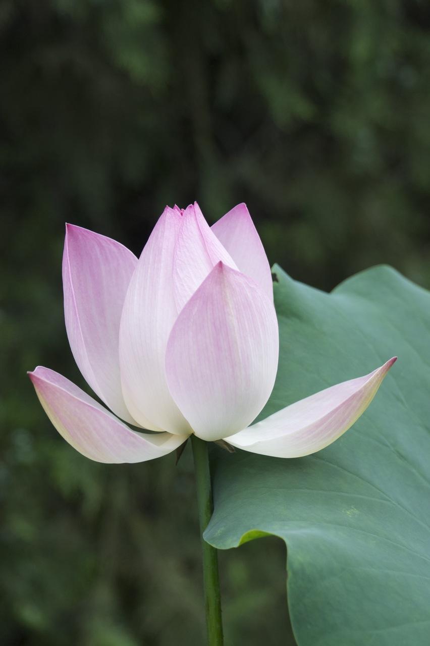 eugene h u0150n   ceramic artist  featuring the beautiful lotus flower at ditan park in beijing