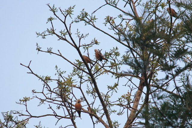 Flock of Chestnut-tailed starlings hanging out on the treetop