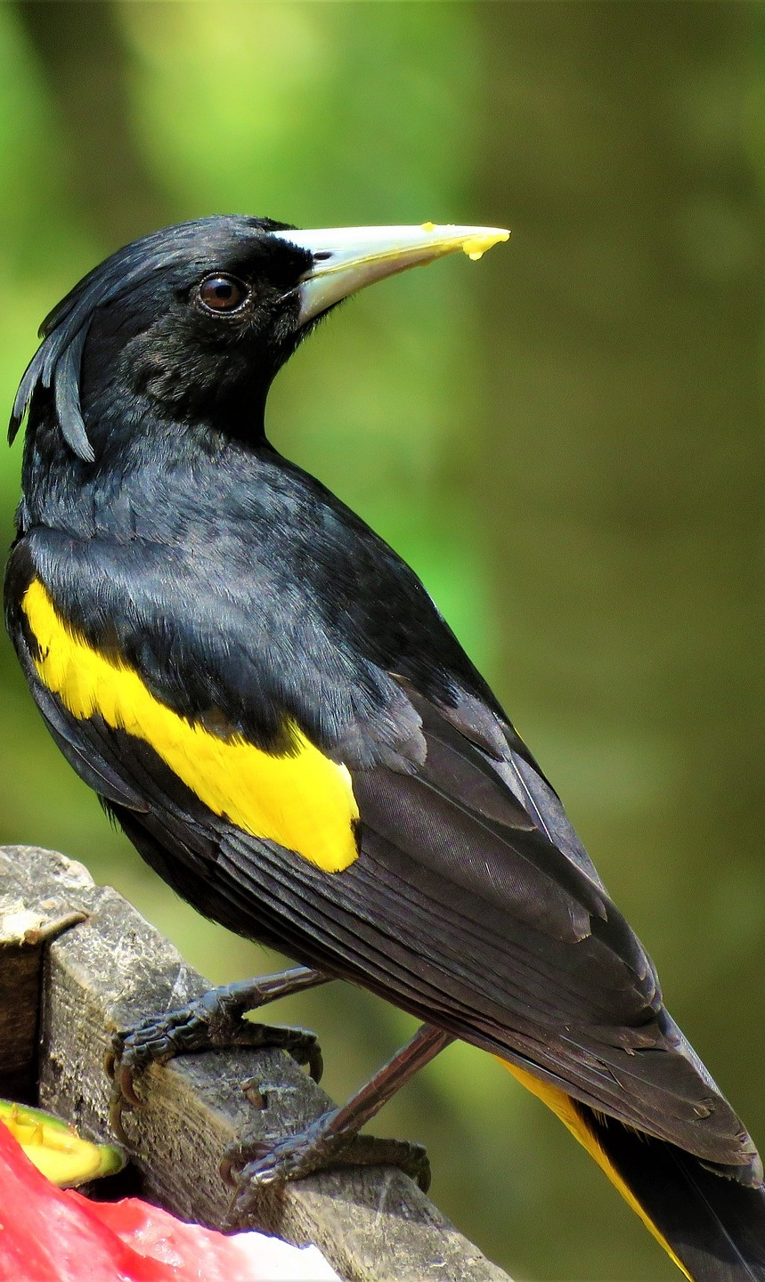 Picture of a yellow-winged cacique.