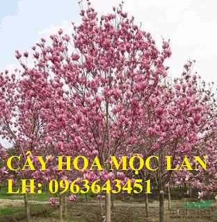 Cung cấp cây hoa mộc lan, cây hoa mộc lan đang có hoa, uy tín, chất lượng, giao cây toàn quốc