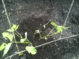 Gardening, life on pig row, runner beans