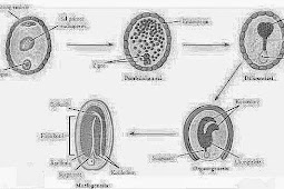 Sekilas 4 tahapan perkembangan makhluk hidup menjadi dewasa
