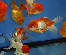 koki Ikan Hias Paling Populer