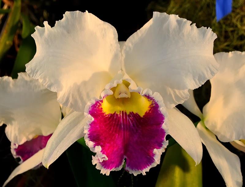 Wanderlust atlanta orchid society show 2014 - Atlanta botanical garden membership ...