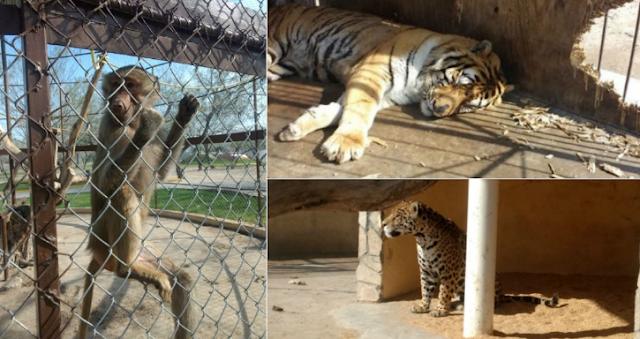 Encuentran droga en Zoológico de Reynosa un mono muerto y cientos deanimales maltratados
