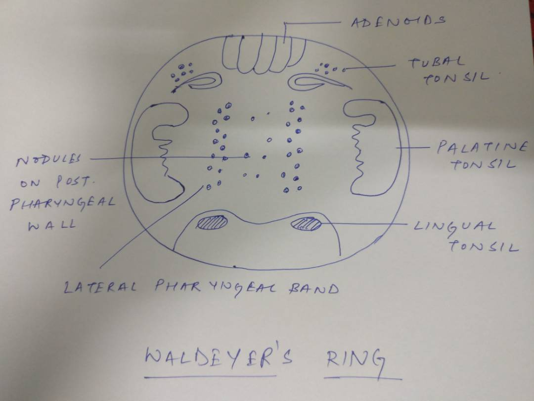 Medicowesome Waldeyer S Ring
