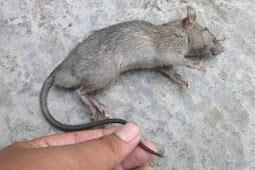Tak Perlu Racun, 5 Bahan Dapur Ini Terbukti Efektif Usir Tikus