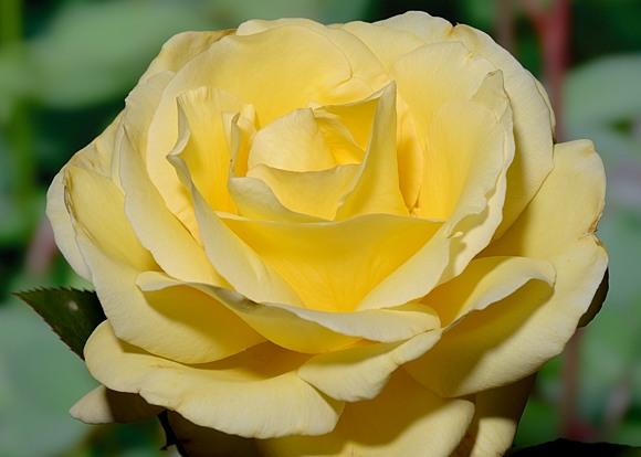 Avec Amour rose сорт розы фото