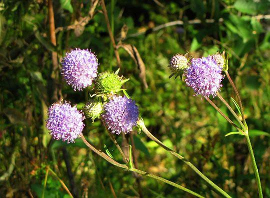 Czarcikęs łąkowy (Succisa pratensis)