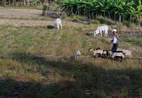 Coastal Badoc Farm Goat Graze Ilocos Norte Philippines