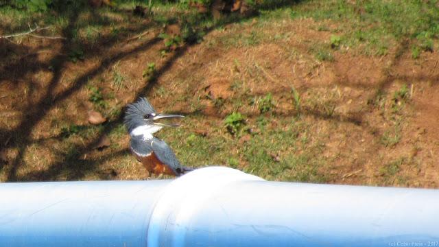 Ringed Kingfisher Megaceryle torquata female Martim-pescador-grande Martín pescador grande o Martín pescador de collar
