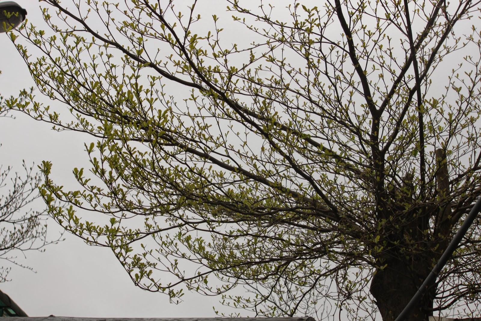 Snow的綠色世界: 初露新芽的小葉欖仁