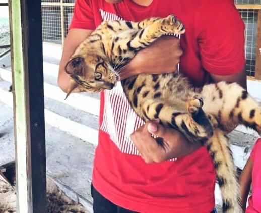 Cara Menjinakan Kucing Hutan Blacan Anakan Dan Dewasa Hobinatang