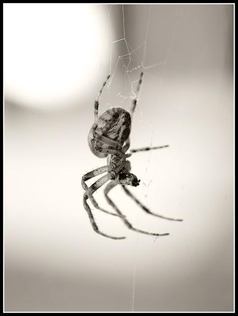 Spider; Garden Spider