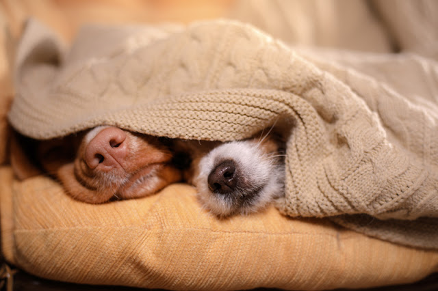 Two dogs' noses sticking out from under a blanket