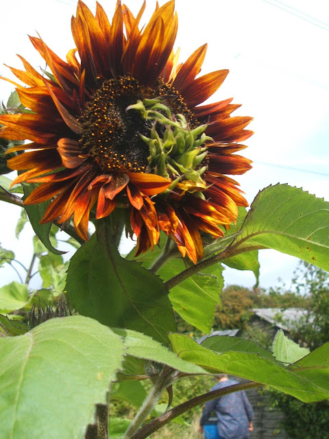 sunset allotment sunflowers