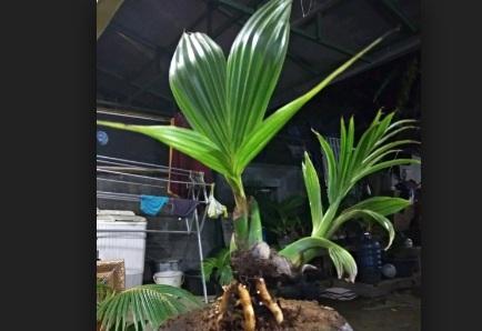 Bonsai kelapa hijau terbaikdi Indonesia