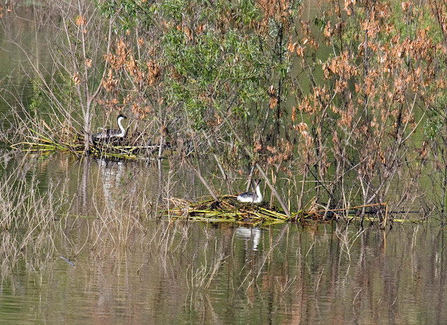 Western Grebes on nests