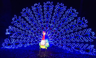 Pic of peacock with tail feathers lit in blue light