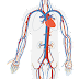 Apa Perbedaan Antara Pembuluh Nadi (Arteri) dan Pembuluh Balik (Vena)