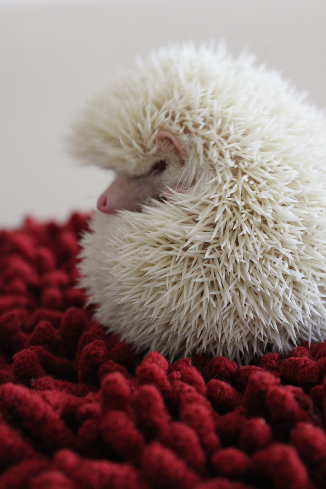 Arbitrary Photo Albino Hedgehog