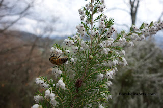 Walk in Tuscan Hills Bee enjoys harvesting on tiny white flowers