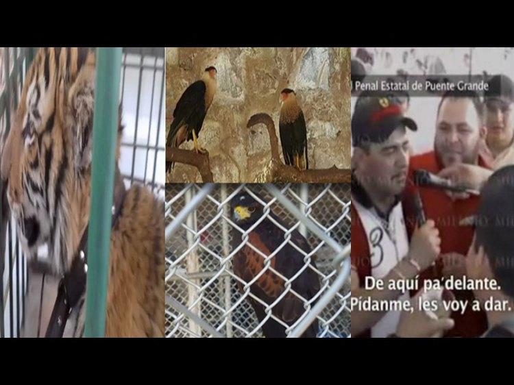 """VIDEO: Estos son los animales exóticos que tenia """"Don Chelo"""" en el narcorancho donde fue abatido"""