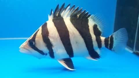 Harga Ikan Predator 2017