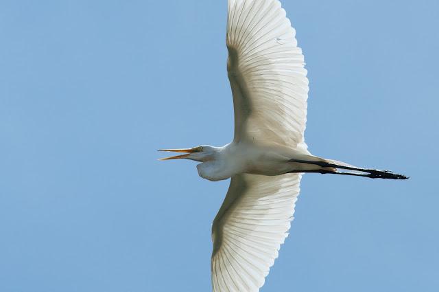 Great Egret, UT Southwestern Rookery