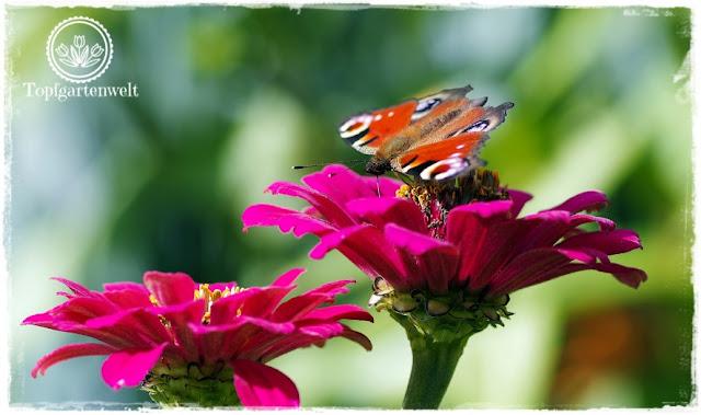 Gartenblog Topfgartenwelt Schmetterlingsgarten: Zinnie im Haus vorziehen Magnet Schmetterlinge Tagpfauenauge