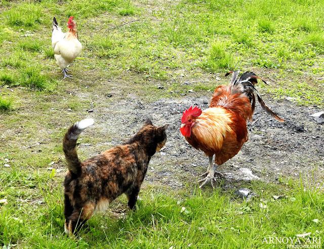 Kukko, kana ja kissa.